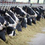 Животноводы Амурской области отдают предпочтение искусственному осеменению КРС