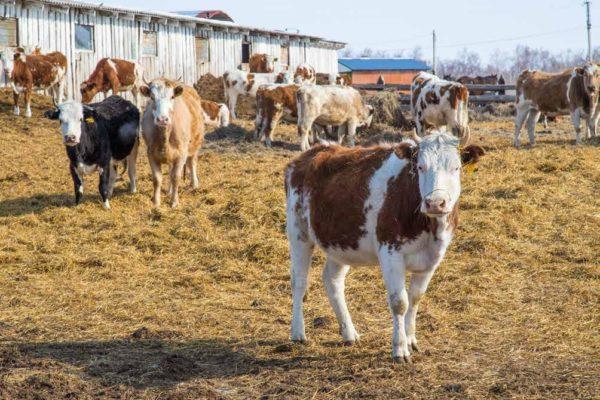 В Амурской области начали строить молочную мегаферму