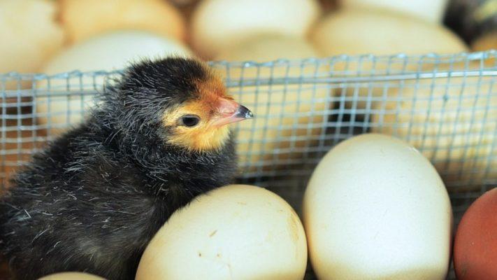 В Ульяновской области активно развивают животноводческую и птицеводческую отрасли