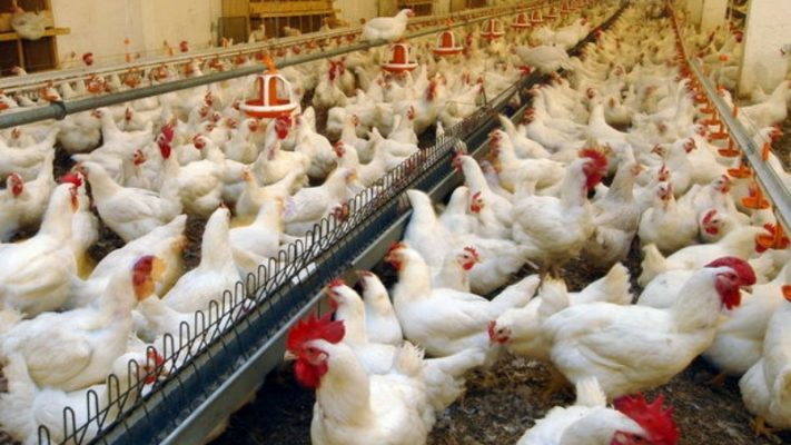 Дефицита куриного мяса и яйца в Кировской области не отмечено