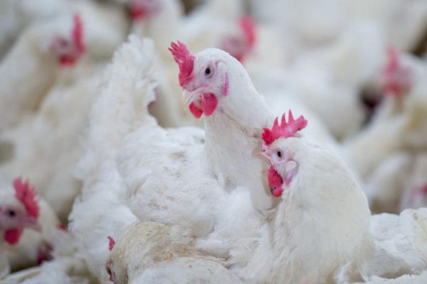 В республике Адыгея ГАП «Ресурс» запустила птицеводческий комплекс