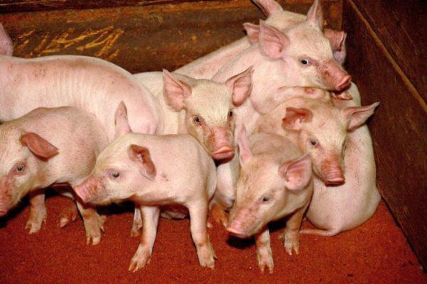На свинокомплексе «Сибагро» в Бурятии летом начнется строительство объектов второй очереди