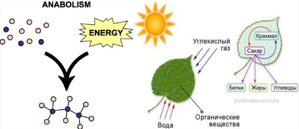 Схема анаболизма растений