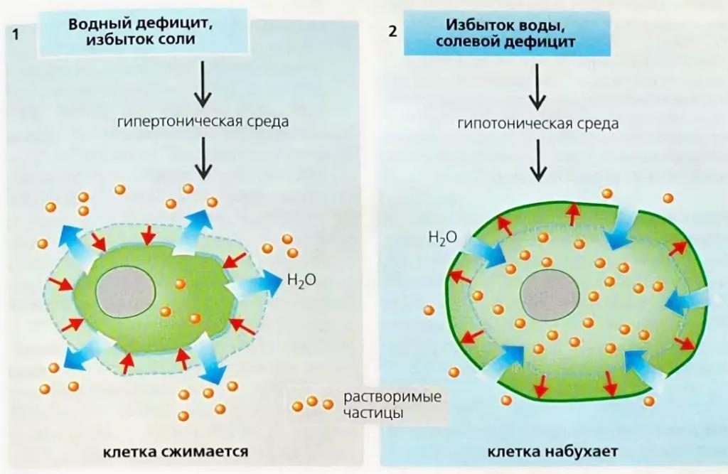 Дегидратация клетки