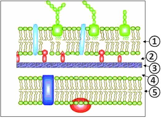 Строение клеточной стенки грамотрицательных бактерий