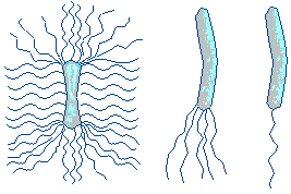 Строение жгутиков бактерий