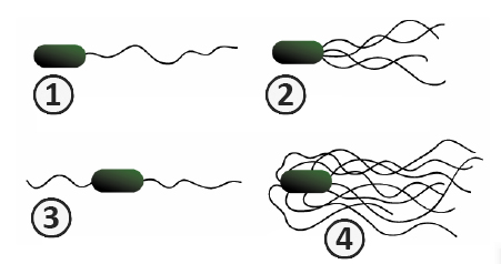 Типы жгутиков у бактерий